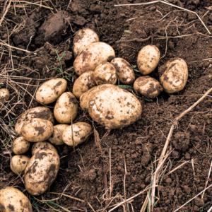 potatis-6