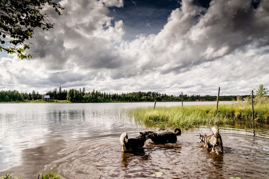 Tre hundar som badar i en sjö.