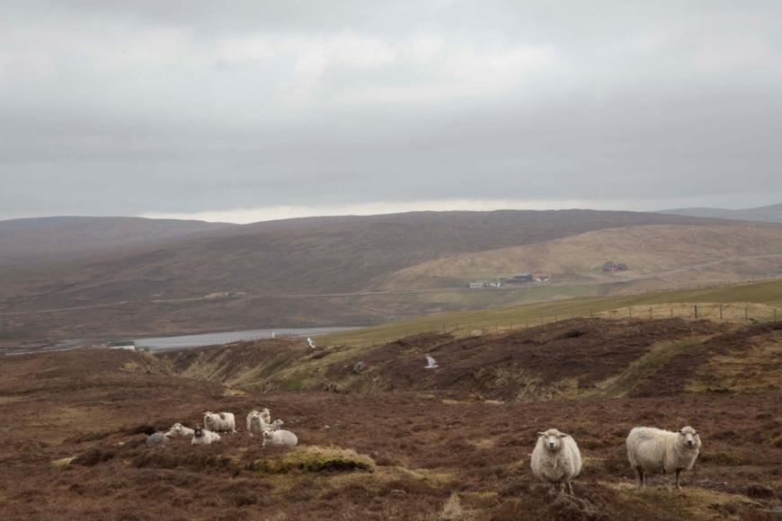 landskap med får och i bakgrunden låga kullar.