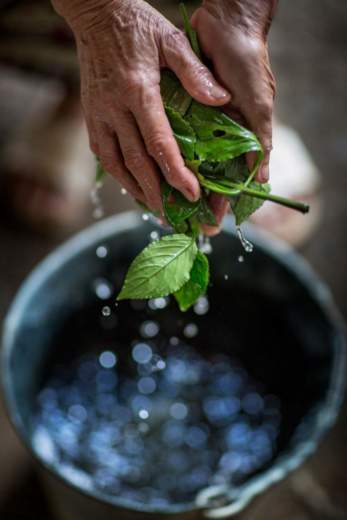 Assamindigo planta tvättas i vatten.